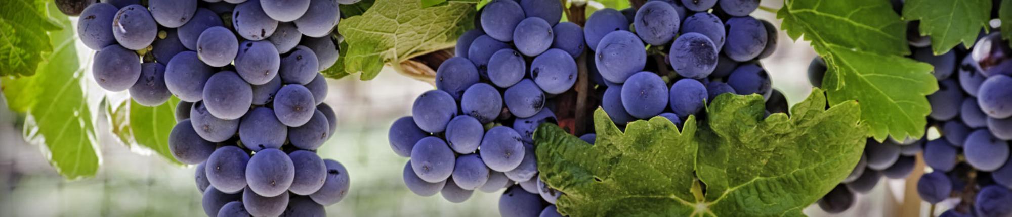 Wijnproeverij bij het Betuws Wijndomein